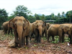 Pinnawela, sloni