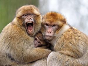 Maroko- še berberske opice se smejijo