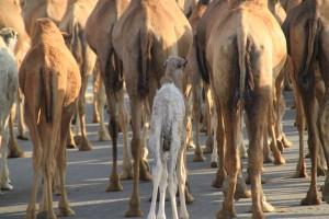 6 del kamelja karavana Large 300x200 - Oman - V znamenju Khandžarja in kadila (6. del)