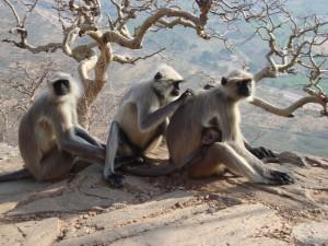 Indija - opice, Savitrin hrib, Puškar