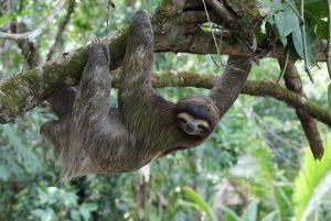 Kostraika lenivec ZIVALSKI SVET 300x201 - 9 razlogov za potovanje v Nikaragvo, Kostariko in Panamo