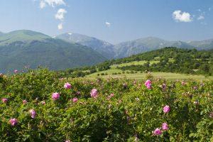 Bolgarija-Kazanlak-polja-vrtnic