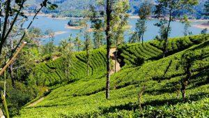 Šrilanka - plantaža čaja