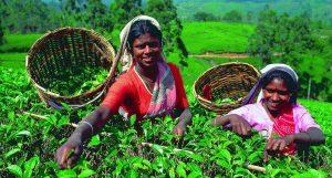 Šrilanka-obiralke čaja-Šrilanka