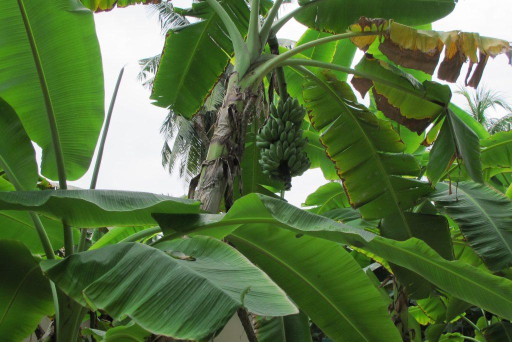 Maldivi - bananovec