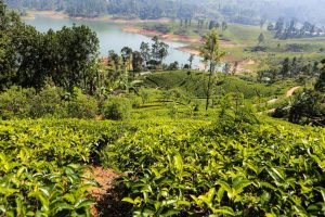 Šrilanka-sprehod po čajnih plantažah