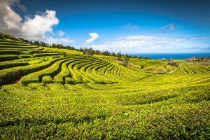 Azori, plantaža čaja